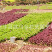 供应优质杜鹃小苗|映山红