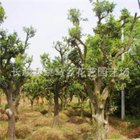 直销优质园林移栽造型柚子树