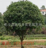 专业销售常绿性乔木桂花树