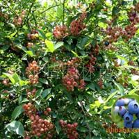 供应【2-3年生蓝莓苗】蓝莓种苗  樱桃苗  葡萄苗批发