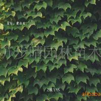 供应攀援植物爬山虎 爬山虎小苗 凌霄等批发 江苏步晴苗木场。