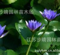供应水深花卉、紫花水莲、碗莲、荷花、鸢尾批发