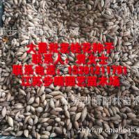 大量出售【桂花种子】桂花苗批发。