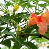供应-灵霄-花卉-花木-小苗-各种绿化苗木
