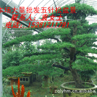 供应五针松盆景、龙柏树桩、花卉盆景等