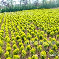 低价批发【洒金柏】龙柏、蜀桧 北京桧 等优质绿化苗木