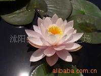 供应-荷花-睡莲 又名子午莲、水芹花、瑞莲、水洋花