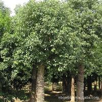 供应--------香樟、木樟、乌樟、芳樟、番樟、香蕊、樟木子、樟树