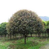 供应-----桂花树、丹桂,金桂,银桂、四季桂