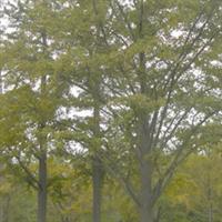 评价最高 质量最好 价格最低 20cm30cm 40cm50cm60cm银杏树
