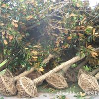 供应----广玉兰、苗木、绿化苗木