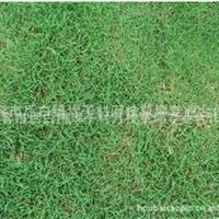 A特价优质推出供应马尼拉 四季青 天堂草坪 马尼拉草坪