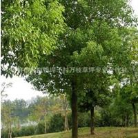 'A限量供应道路绿化 广场绿化乔木香樟树 木材耐腐 有香气香樟树