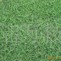 (泥培)马尼拉草坪 绿化草坪