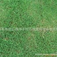 A【诚信较好.欢迎订购】量大从优推荐高羊茅草坪,马尼拉草坪