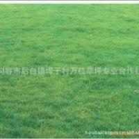A【诚信较好.欢迎订购】大量批发推荐厂家高羊茅草坪,马尼拉草坪