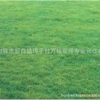 A【欢迎订购】推荐优质草坪天堂草 马尼拉草 矮生百幕大黑目草
