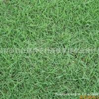 .A万枝合作社长期专业生产供应 成活率99% 暖季型 马尼拉草坪