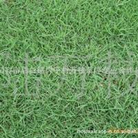 A推荐万枝合作社现货供应 成活率99% 暖季型 马尼拉草坪