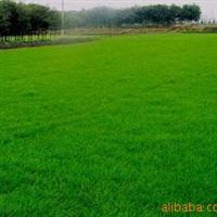 高羊茅草,马尼拉草皮,天堂草,黑麦草皮