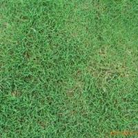 供应天堂草坪,矮生百幕大,马尼拉草,朴树,榉树,红叶色蓝等等
