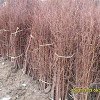 批发供应高品质优质热销水杉(图)