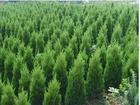 出售八棱海棠树,精品海棠树,60年古梨树,桑树,新疆杨,