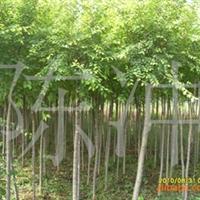 供应绿化苗木  工程用苗高接金叶榆 地接金叶榆 金叶榆球