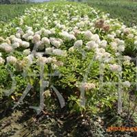 供应木绣球  各种绿化苗木  扦插 播种 小苗