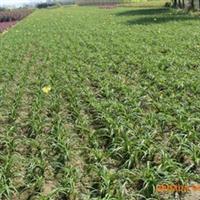 供应萱草中的矮型优良品种-金娃娃萱草