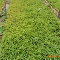 供应各种扦插播种小苗根系好成活率高如红王子锦带水腊