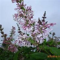 供应绿化苗木花灌木紫丁香.  臭丁香 大叶丁香