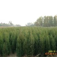 辽宁省智豪苗圃供应侧柏各种花灌木扦插播种小苗