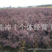 供应绿化苗木 紫叶小波  紫叶小檗