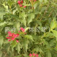 供应绿化苗木 花灌木 红花王子锦带