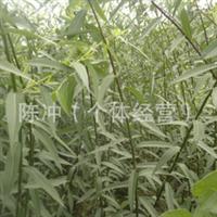 辽宁省智豪苗圃供应绿化苗木 172   109  柳树苗行道树