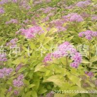 辽宁省智豪苗圃供应绿化苗木金山 金焰 灌丛 花坛