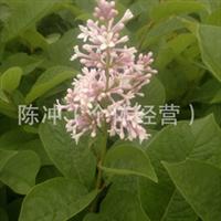 供应绿化苗木红丁香   高80-1.2     小区绿化  校园绿化