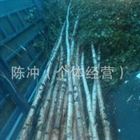 供应白桦树   白桦树杆  白桦树枝  工程绿化 装饰材料