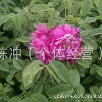 辽宁省智豪苗圃供应多季刺玫 工程绿化   小区绿化