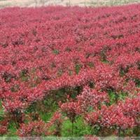 批发供应绿化小苗 红叶石楠小苗 红叶石楠球 实地看货 满意起苗