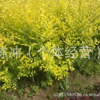 智豪苗圃大量供应 各种规格金叶榆
