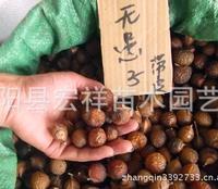 批发优质无患子种子,文冠果种子,皂角种子,大粒子 当年新��