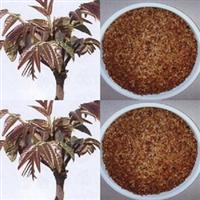 批发供应优质苗木种子 香椿种子 红油椿种子 可食用的香椿