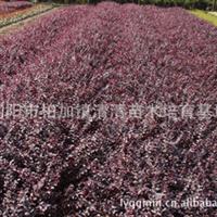 供应优质红花继木小苗 红花继木球 工程苗