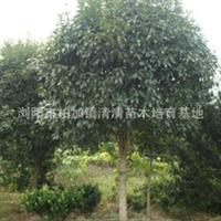 供应优质乔木精品八月桂 桂花价格