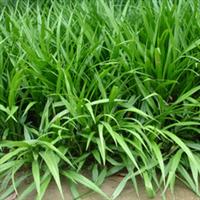 清清苗木培育优质地被草花——吉祥草
