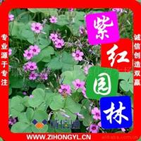 供应A红花酢浆草(红花草)