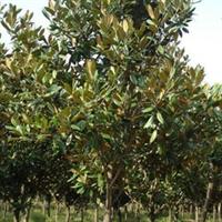 工程 绿化苗木 榆叶梅 红梅 美人梅 垂梅