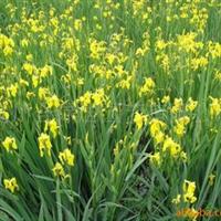 供应黄菖蒲【水生植物】草坪
